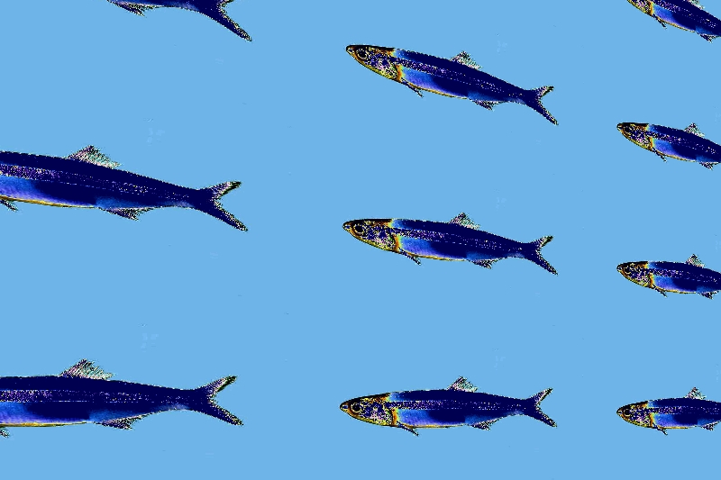 image of a blue anchovy parade