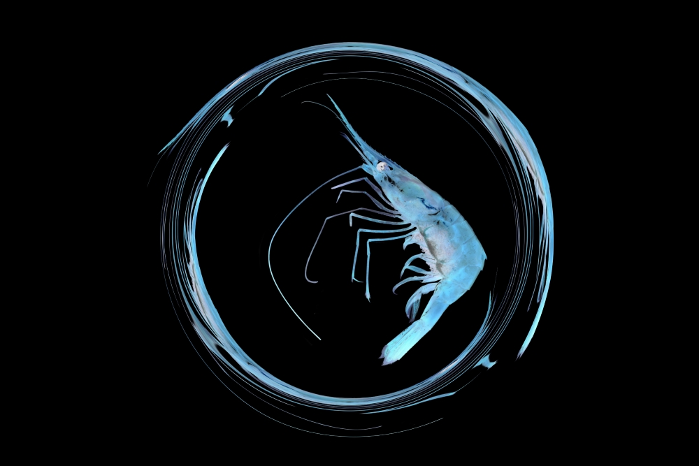 image of a zen calligraphy of antennas of a blue shrimp on a black background