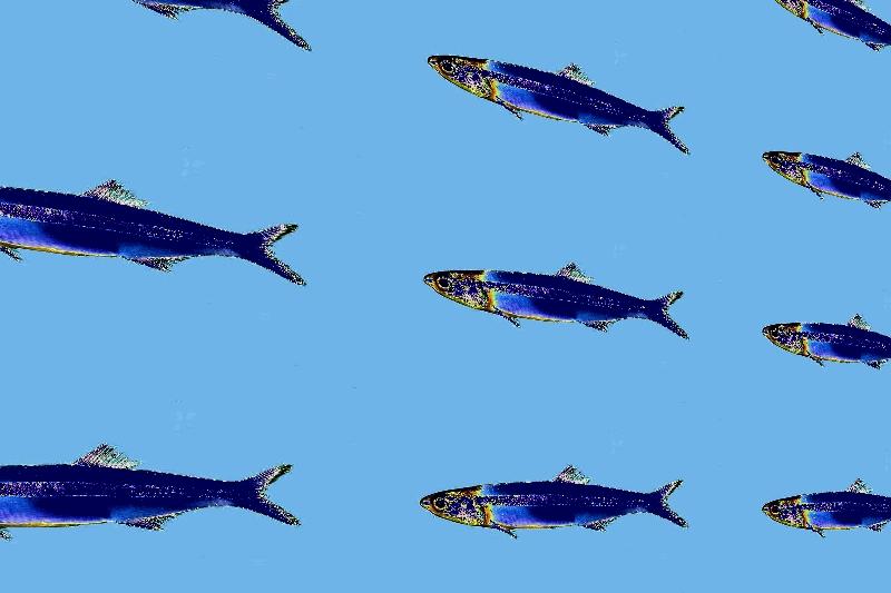 image d'un défilé d'anchois bleutés